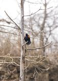 Röda kvitter för vingsvartfågel som kallar högt ut i tidig vår till arkivbilder