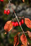 Röda långsträckta bär och höstsidor av den japanska cornei- eller japankarneolkörsbäret, kända Cornusofficinalis för latin Royaltyfria Foton