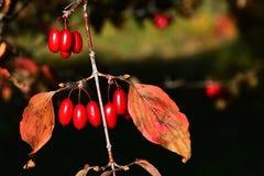 Röda långsträckta bär och höstsidor av den japanska cornei- eller japankarneolkörsbäret, kända Cornusofficinalis för latin Fotografering för Bildbyråer