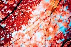 Röda lönnar i höst på Mt.Takao, Japan arkivbild