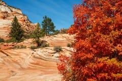 Röda lönnhöstfärger Fotografering för Bildbyråer
