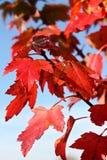 Röda lönnlöv Arkivfoto