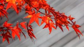 Röda lönnlöv Royaltyfria Foton