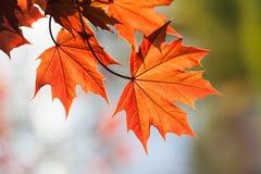 Röda lönnlöv, beståndsdel för blom- design Kontrast färgar begrepp Grunt djup av fältet, mjuk fokus Arkivfoto