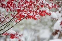 Röda lönnlöv, i att snöa Royaltyfri Fotografi