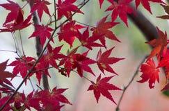 Röda lönnlöv i Japan Arkivbilder