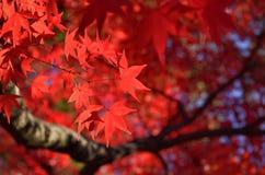 Röda lönnlöv, Kyoto Japan royaltyfria bilder