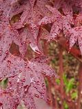Röda lönnlöv med regndroppar Arkivbild