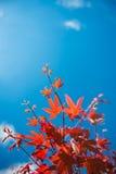 Röda lönnlöv mot den blåa himlen Royaltyfria Foton