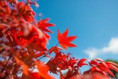 Röda lönnlöv mot den blåa himlen Arkivfoton