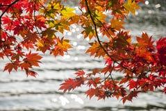 Röda lönnlöv och sjöbakgrund Fotografering för Bildbyråer