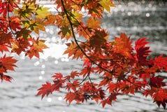 Röda lönnlöv och sjöbakgrund Royaltyfri Foto