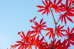 Röda lönnlöv på blåttskybakgrund Arkivfoto
