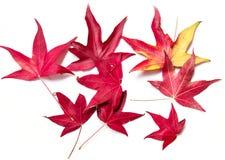 Röda lönnlöv på en vit bakgrund Komma av hösten arkivbild