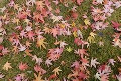 Röda lönnlöv på gräsmattan arkivfoton