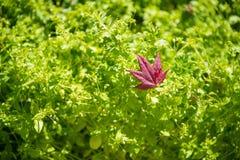 Röda lönnlöv på gräsplan Arkivfoto