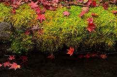 Röda lönnlöv på mossagolv Fotografering för Bildbyråer