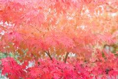 Röda lönnlöv på träd under höstsäsong arkivbilder
