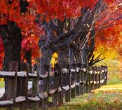 Röda lönnTrees bredvid staket Royaltyfri Bild
