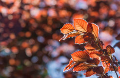 Röda leafs royaltyfri bild