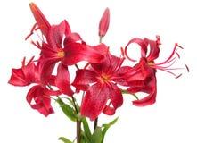 röda liljar arkivbild