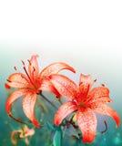 röda liljar Arkivfoton