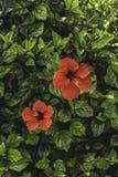 röda liljar Arkivfoto