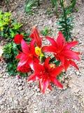 Röda lillies från över royaltyfria foton