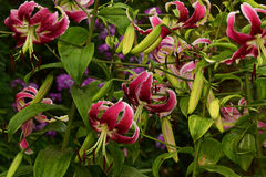 Röda lilys Royaltyfria Foton