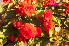 röda ljusa blommor royaltyfria bilder