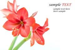 röda ljusa blommor Royaltyfri Bild