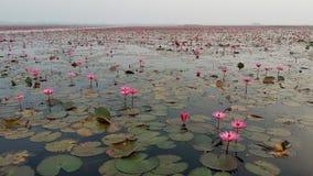 Röda Lotus Sea Royaltyfri Foto