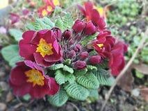 röda mörka blommor Fotografering för Bildbyråer