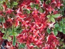 Röda Mage-trä blommor faller på vitgräsplansidor fotografering för bildbyråer