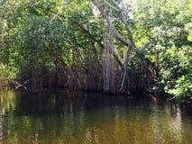 Röda mangrovar av Jamaica Royaltyfria Bilder