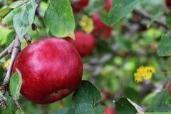 Röda mogna Apple i träd under sommar Royaltyfri Bild