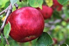 Röda mogna Apple i träd under sommar Royaltyfria Bilder