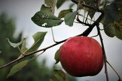 Röda mogna Apple i träd under sommar Arkivfoton