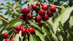 Röda mogna körsbär som täckas med vattendroppar, hänger på ett träd och en stirring från vinden stock video
