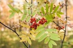 Röda mogna rönnbär med guling-gräsplan sidor i höstför arkivfoton