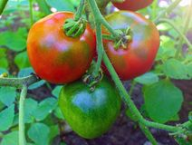 röda mogna tomater i trädgården Royaltyfria Foton