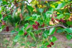 Röda mullbärsträd på filial Arkivbild