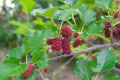 Röda mullbärsträd på filial Arkivbilder