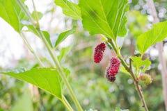 Röda mullbärsträd på filial Fotografering för Bildbyråer