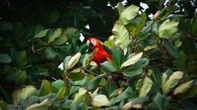 Röda munkhättor som sitter i ett träd Arkivfoton