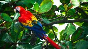 Röda munkhättor som sitter i ett träd Royaltyfri Fotografi