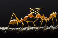 Röda myror Fotografering för Bildbyråer