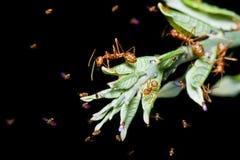 Röda myror Royaltyfria Foton