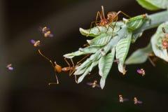 Röda myror Arkivbild