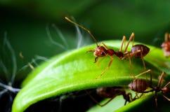 Röda myror Arkivbilder